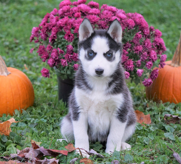 AKC Registered Siberian Husky For Sale Millersburg, OH Female - Aspen