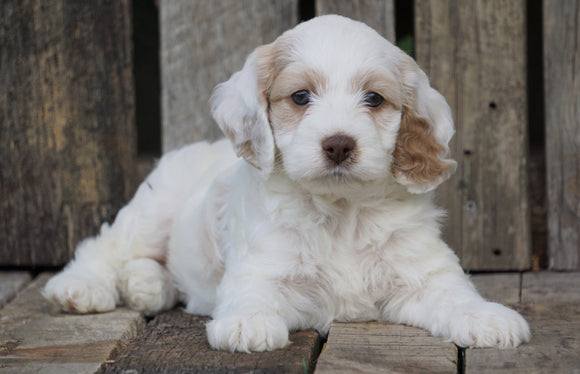 Cockapoo For Sale Wooster, OH Female- Twlight