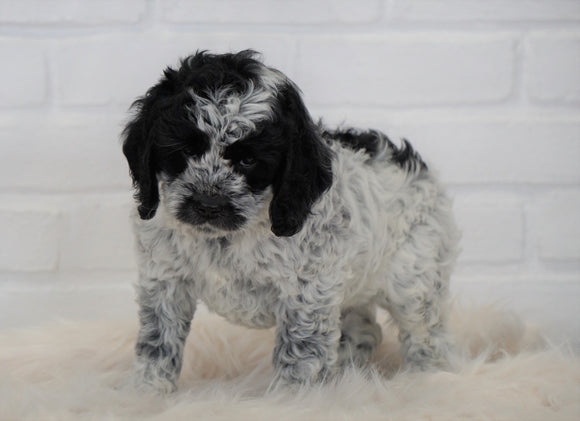Cockapoo For Sale Dundee, OH Male- Cleo