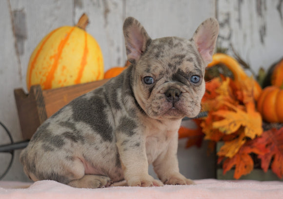 AKC Registered French Bulldog For Sale Millersburg, OH Male- Duke
