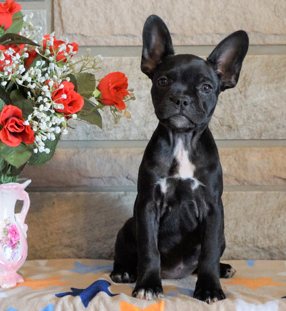 ICA Registered Frenchton For Sale Mansfield, OH Female - Lily