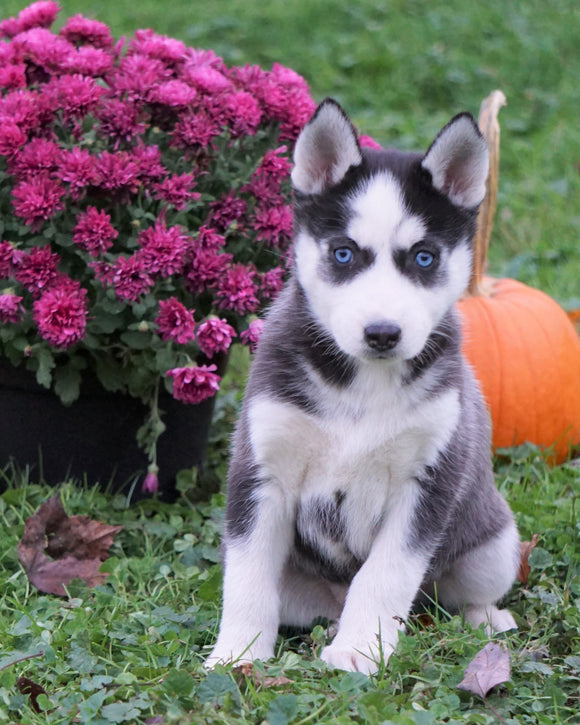 AKC Registered Siberian Husky For Sale Millersburg, OH Female - Cheyenne