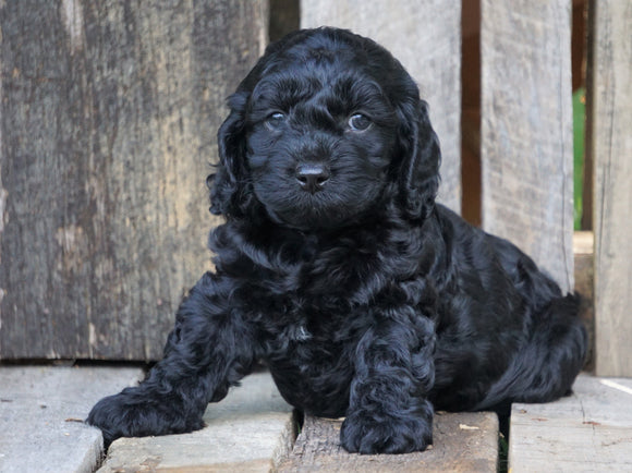 Cockapoo For Sale Wooster, OH Male- Pepsi