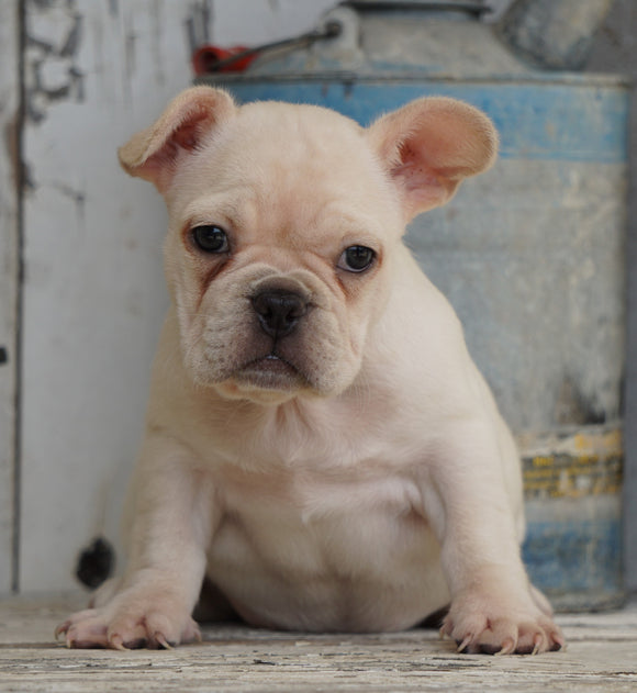 AKC Registered French Bulldog For Sale Millersburg, OH Female- Rosie