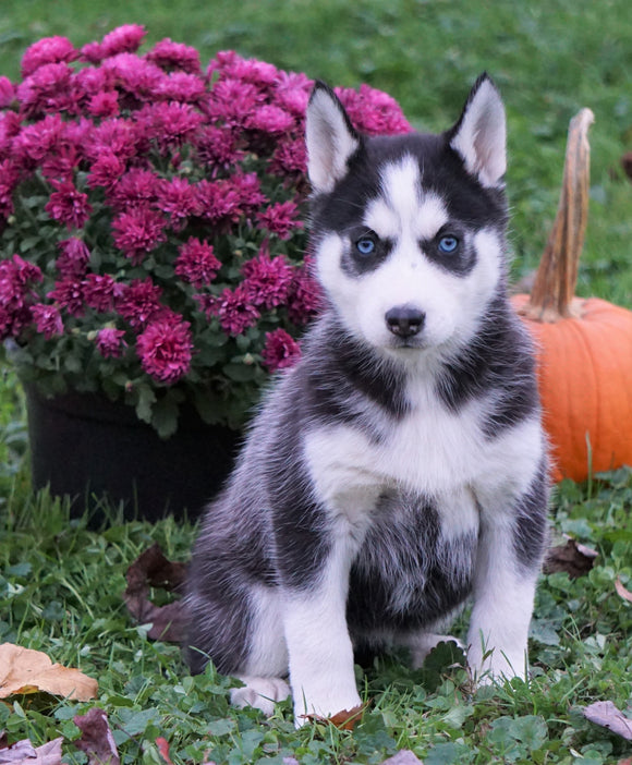 AKC Registered Siberian Husky For Sale Millersburg, OH Female - Sierra
