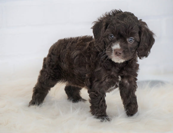 Cockapoo For Sale Dundee, OH Female- Grace