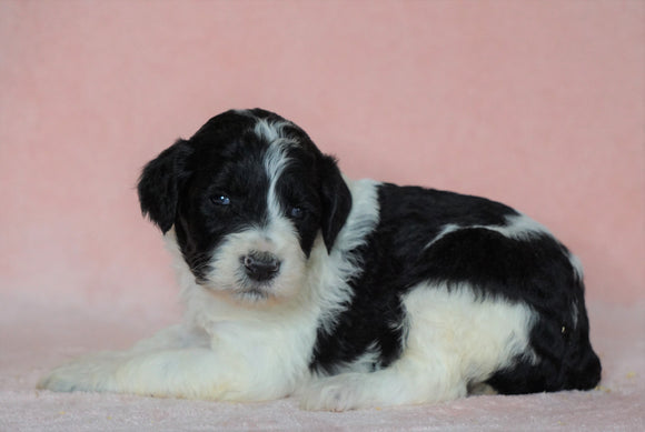 Sheepadoodle (Standard) For Sale Baltic, OH Female- Brittany