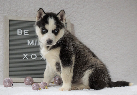 Siberian Husky For Sale Holmesville, OH Female - Remi