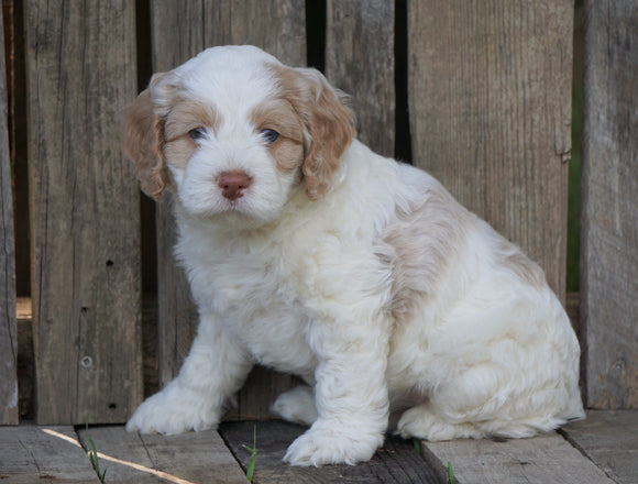 Cockapoo For Sale Wooster, OH Male- Toby