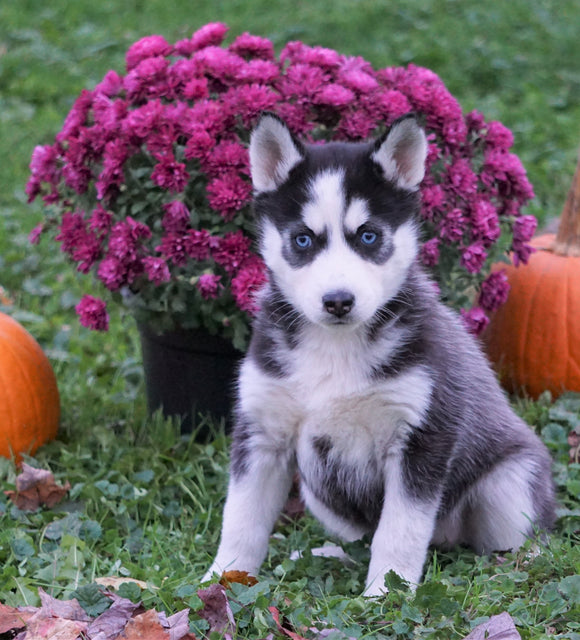 AKC Registered Siberian Husky For Sale Millersburg, OH Female - Willow