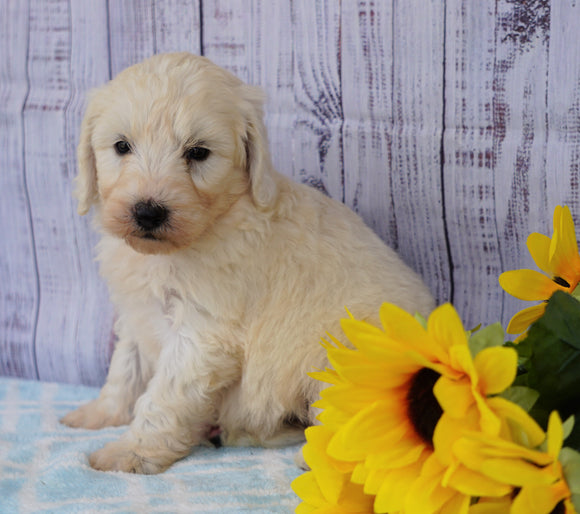 F1B Mini Sheepadoodle For Sale Applecreek, OH Female- Lucy