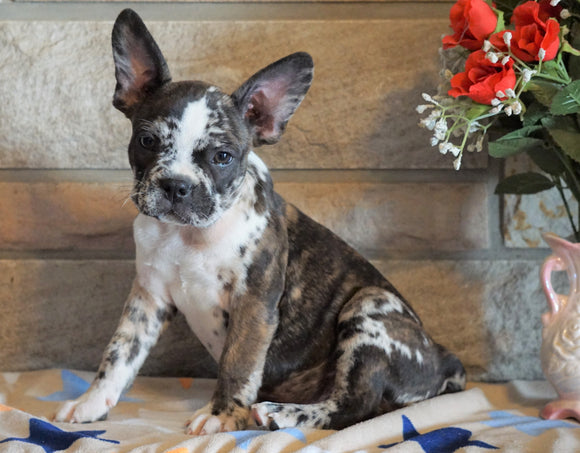 ICA Registered Frenchton For Sale Mansfield, OH Male - Slate