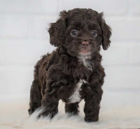 Cockapoo For Sale Dundee, OH Male- Roscoe