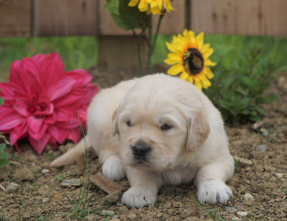 AKC Registered Golden Retriever For Sale Applecreek, OH Male- Chad