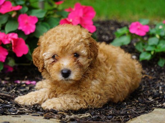 ICA Registered Toy Poodle For Sale Millersburg, OH Male- Chipper