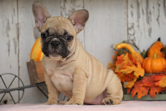 AKC Registered French Bulldog For Sale Millersburg, OH Female- Maggie