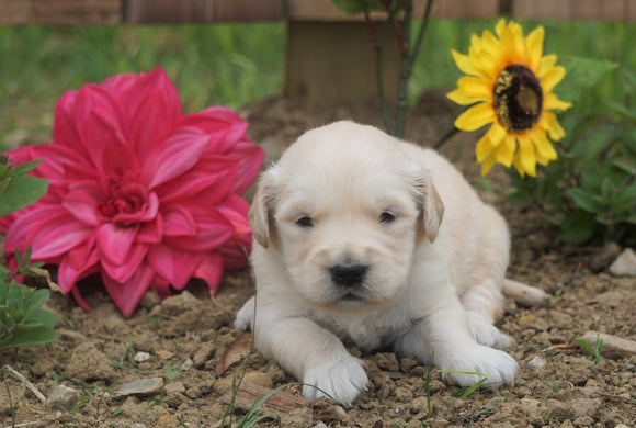 AKC Registered Golden Retriever For Sale Applecreek, OH Male- Charles