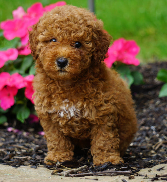 ICA Registered Toy Poodle For Sale Millersburg, OH Female- Zoey