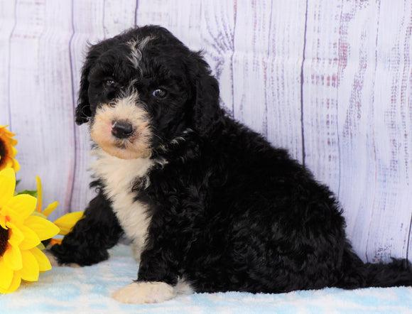 F1B Mini Sheepadoodle For Sale Applecreek, OH Male- Chase