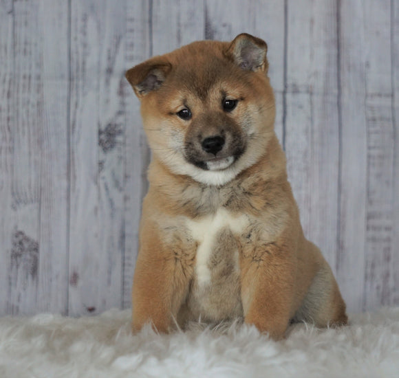 AKC Registered Shiba Inu For Sale Millersburg, OH Male- Simon