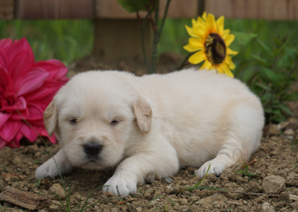 AKC Registered Golden Retriever For Sale Applecreek, OH Male- Conner