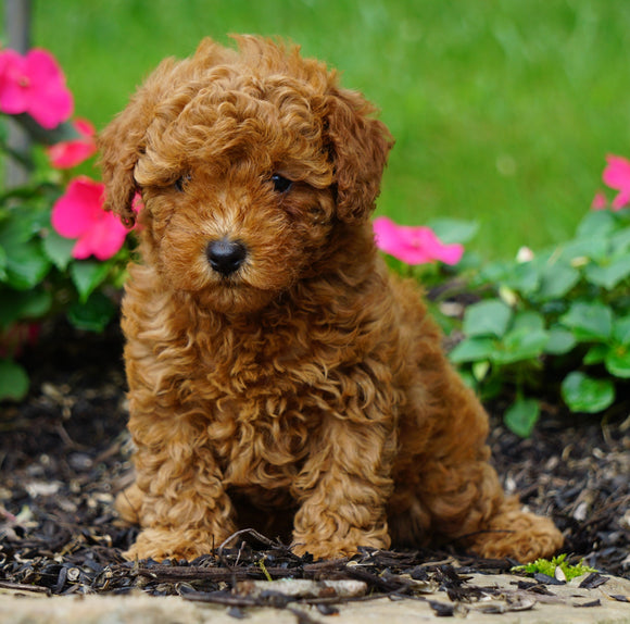 ICA Registered Toy Poodle For Sale Millersburg, OH Female- Kelsey