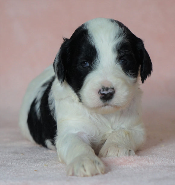 Sheepadoodle (Standard) For Sale Baltic, OH Male Milo