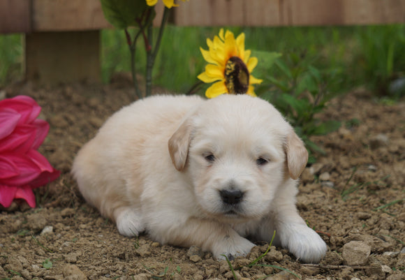 AKC Registered Golden Retriever For Sale Applecreek, OH Male- Conrad