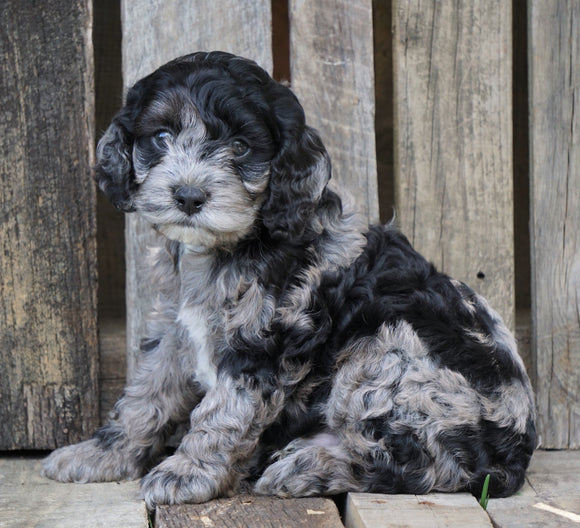 Cockapoo For Sale Wooster, OH Male- Prince