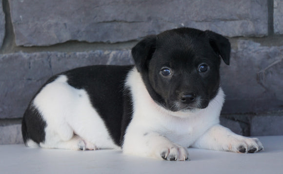 Jack Russel Mix For Sale Millersburg, OH Female- Casey