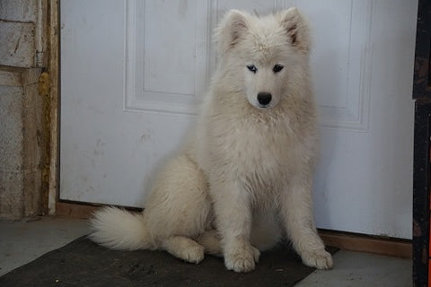 AKC Registered Samoyed For Sale Danville Ohio