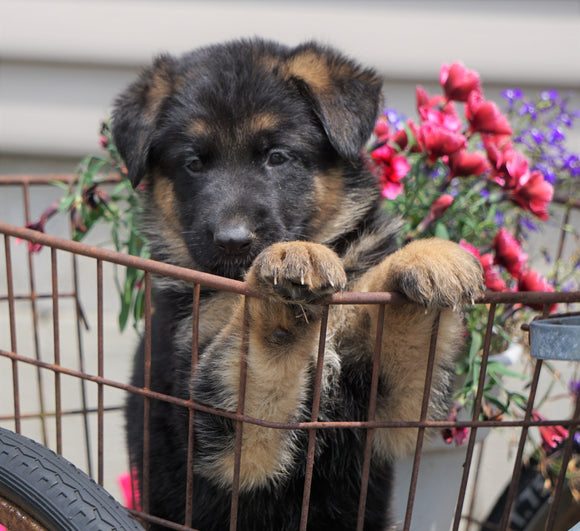 AKC Registered German Shepherd For Sale Fredericksburg, OH Male- Ace