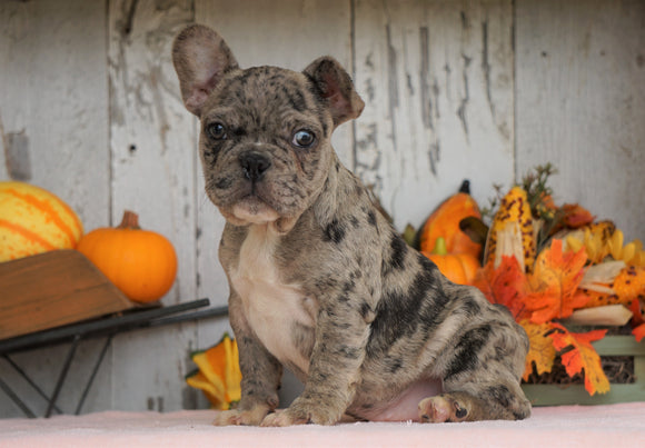 AKC Registered French Bulldog For Sale Millersburg, OH Male- Buddy