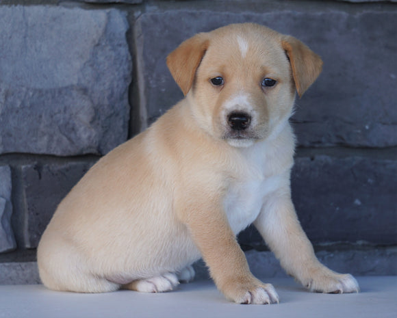 Jack Russel Mix For Sale Millersburg, OH Male- Cash