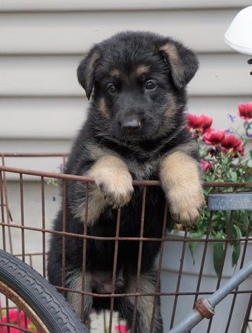 AKC Registered German Shepherd For Sale Fredericksburg, OH Male- Diesel