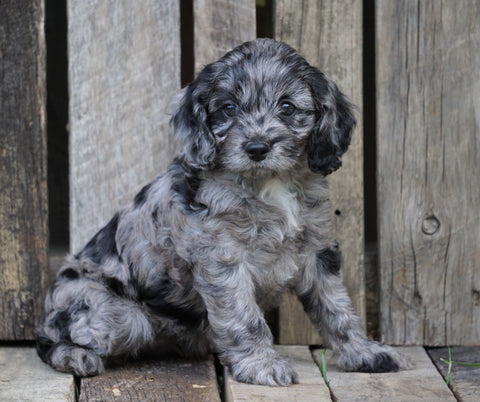 Cockapoo For Sale Wooster, OH Female- Princess