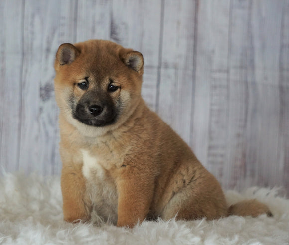 AKC Registered Shiba Inu For Sale Millersburg, OH Male- Alvin