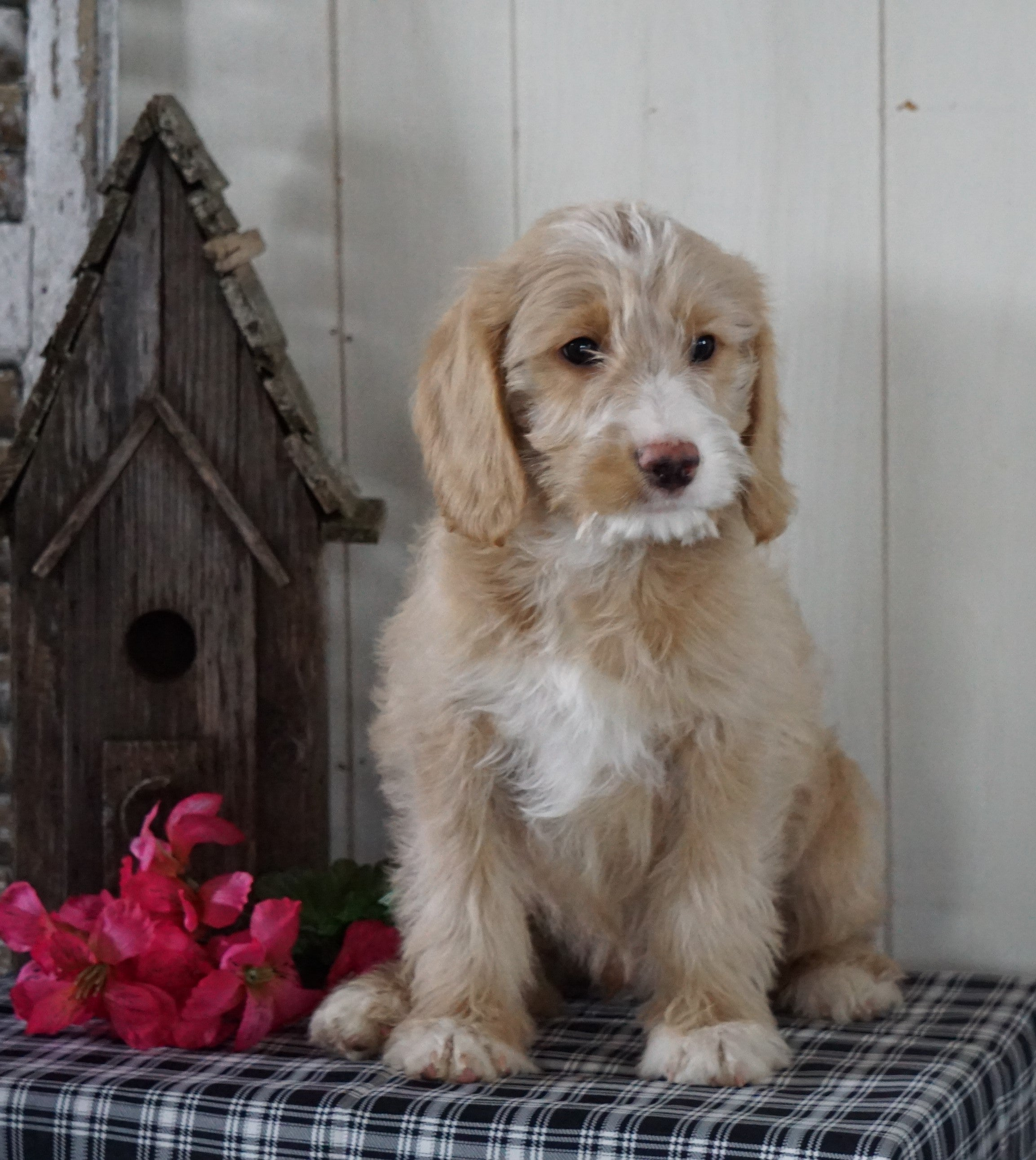Mini F1b Labradoodle For Sale Millersburg Oh Male Danny