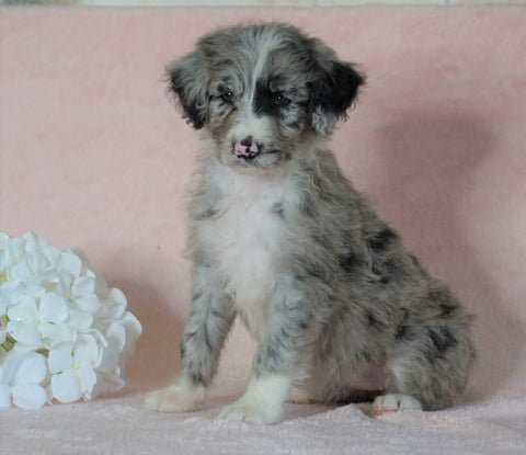 Aussiedoodle For Sale Baltic, OH Female- Tiffany