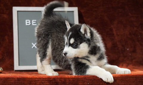 Siberian Husky For Sale Holmesville, OH Female - Carly