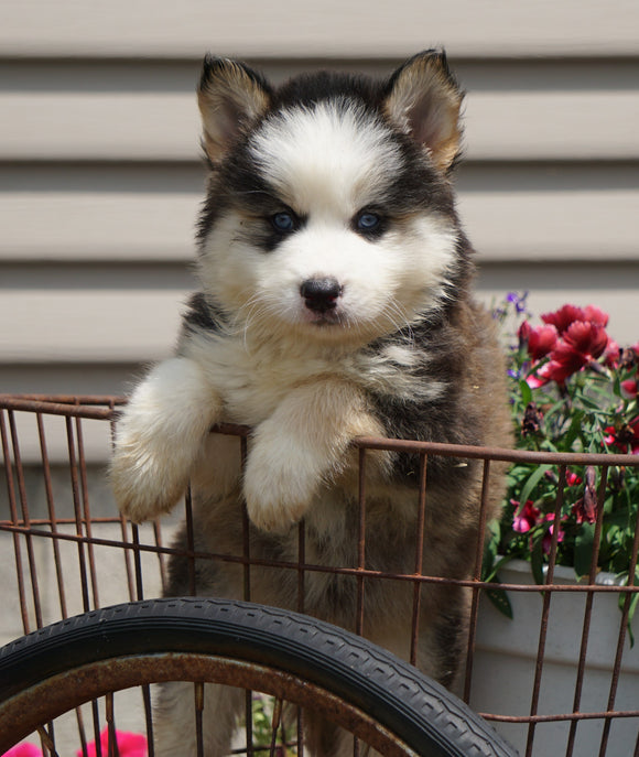 Pomsky For Sale Fredericksburg, OH Male- Ringo