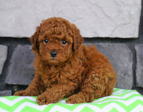 ACA Registered Miniature Poodle For Sale Millersburg, OH Male- Jimmy
