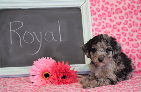 Cockapoo Puppy For Sale Millersburg, OH Male- Royal