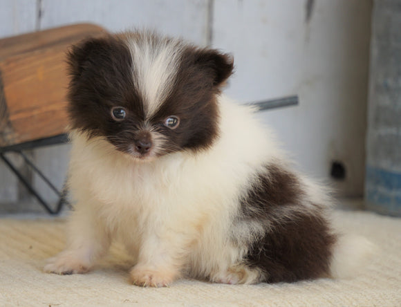 ACA Registered Pomeranian For Sale Millersburg, OH Female- Tiny