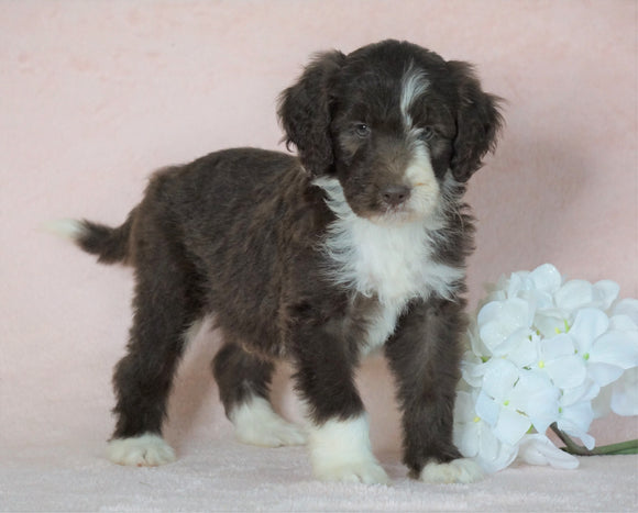 Aussiedoodle For Sale Baltic, OH Male- Jupiter