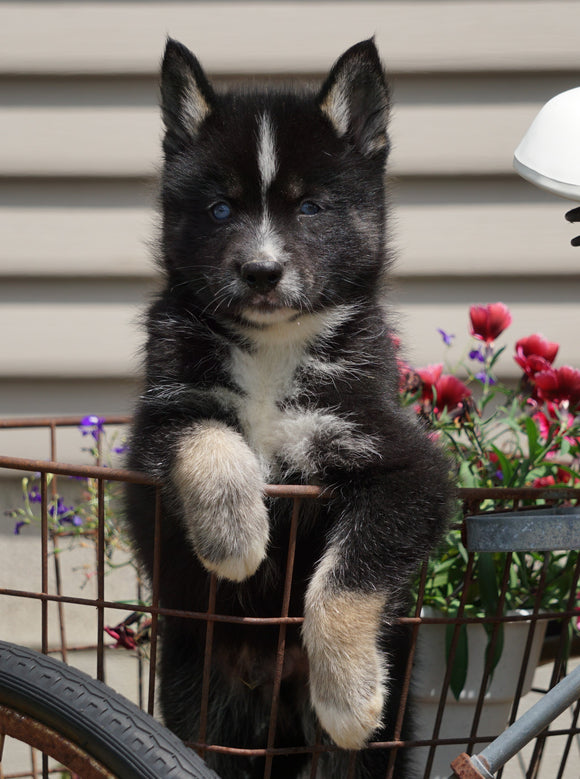 Pomsky For Sale Fredericksburg, OH Male- Jackson