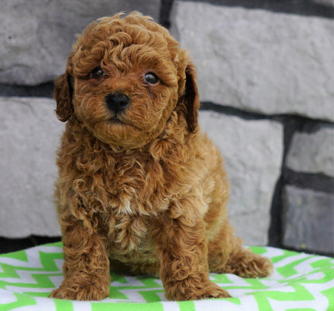ACA Registered Miniature Poodle For Sale Millersburg, OH Male- Javin
