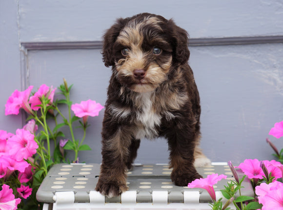 Mini Aussiedoodle For Sale Wooster, OH Male- Bingo