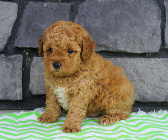ACA Registered Miniature Poodle For Sale Millersburg, OH Male- Jax