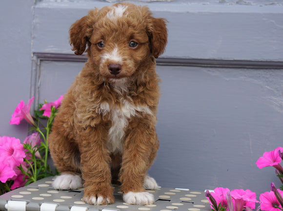 Mini Aussiedoodle For Sale Wooster, OH Male- Blaze